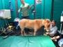 Dr. Mason Performs Mini Horse Surgery