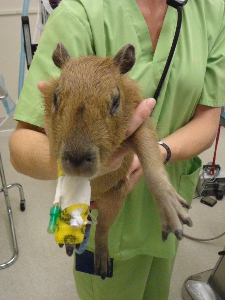 Capybara 002