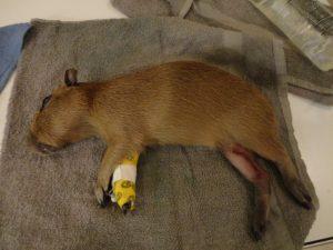Capybara 005
